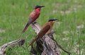 Southern carmine bee-eater, Merops nubicoides, Savuti marsh, Chobe National Park, Botswana (31650328123).jpg