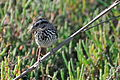 Sparrow collecting nesting materials -California-8.jpg