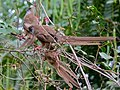 Speckled Mousebirds (Colius striatus) (7083304821).jpg