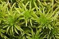 Sphagnum riparium (b, 145622-482723) 0139.JPG