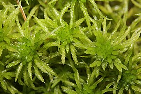 Description de l'image Sphagnum riparium (b, 145622-482723) 0139.JPG.