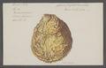 Spondylus spec. - - Print - Iconographia Zoologica - Special Collections University of Amsterdam - UBAINV0274 074 10 0031.tif