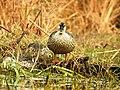 Spot-billed Duck Anas poecilorhynchafemale by Dr. Raju Kasambe DSCN2834 (12).jpg