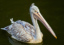 Spot-billed Pelican.jpg