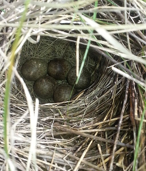 https://upload.wikimedia.org/wikipedia/commons/thumb/d/da/Sprague%27s_Pipit%2C_Anthus_spragueii%2C_domed_nest_with_bird_eggs_visible%2C_AB_Canada.jpg/513px-Sprague%27s_Pipit%2C_Anthus_spragueii%2C_domed_nest_with_bird_eggs_visible%2C_AB_Canada.jpg