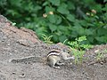 Squirrel in Ajanta (453036703).jpg