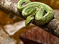 Sri Lankan Green Pit Viper.jpg