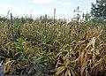 Stachys palustris kz05.jpg