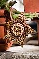 Stapelia lepida Flower (2).jpg