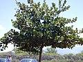 Starr-010330-0602-Clusia rosea-habit-Kahului-Maui (24532115265).jpg