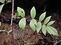 Starr-021126-0064-Rubus niveus-form b leaves and thorny stem-Polipoli-Maui (23925381674).jpg