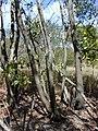 Starr-031013-0022-Acacia mangium-bark-Hamakuapoko-Maui (24555840762).jpg