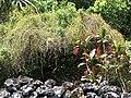 Starr-070321-5939-Cassytha filiformis-habit-Waianapanapa State Park Hana-Maui (24767508952).jpg