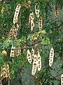 Starr-080607-7361-Albizia lebbeck-seedpods in rain-Midway Mall Sand Island-Midway Atoll (24620542420).jpg