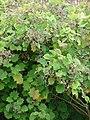 Starr-090430-6722-Roldana petasitis-seeds and leaves-Kula-Maui (24835251582).jpg