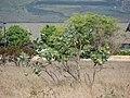 Starr-090608-9007-Calotropis procera-habit-Waikapu-Maui (24335820753).jpg