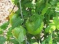 Starr-090707-2404-Solanum lycopersicum-green fruit-Olinda-Maui (24851067712).jpg
