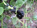 Starr-090806-3826-Basella alba-fruit-Wailuku-Maui (24971379595).jpg