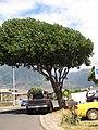 Starr-090806-4012-Pterocarpus indicus-habit-Kahului-Maui (24971760005).jpg