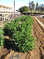 Starr-091023-8520-Solanum muricatum-crop rows-Kula Experiment Station-Maui (24986790265).jpg