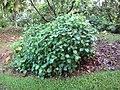 Starr-091104-8776-Piper gualiameanse-habit-Kahanu Gardens NTBG Kaeleku Hana-Maui (24894740571).jpg
