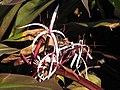 Starr-110215-1336-Crinum asiaticum-flowers-KiHana Nursery Kihei-Maui (25049770936).jpg
