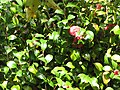 Starr-110307-1996-Camellia japonica-leaves-Kula Botanical Garden-Maui (25051034716).jpg