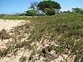 Starr-110312-6441-Heliotropium anomalum var argenteum-after tsunami-Kanaha Beach-Maui (24712059589).jpg