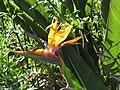 Starr-110331-4346-Strelitzia reginae-flowers-Shibuya Farm Kula-Maui (24963456662).jpg
