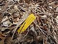 Starr-110621-6262-Vaccinium hybrid-Southern highbush cv Emerald plant tag-Hawea Pl Olinda-Maui (24729608709).jpg