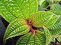 Starr-110722-7397-Clidemia hirta-leaves-Waihee Ridge Trail-Maui (25073488306).jpg