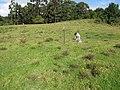 Starr-120418-4697-Senecio madagascariensis-Paul getting soil core samples-Kahakapao Rd-Maui (25139513225).jpg