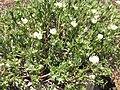 Starr-120504-5553-Portulaca villosa-habit-Maui Nui Botanical Garden-Maui (24515396273).jpg