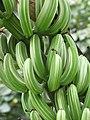 Starr-120606-6840-Musa x paradisiaca-Maoli Maia Koae or Manini variegated fruit-Kahanu Garden NTBG Hana-Maui (25026136272).jpg