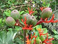 Starr-120606-7059-Jatropha podagrica-flowers and fruit-Laulima Farm Kipahulu-Maui (24777057189).jpg