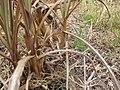 Starr-120608-7246-Cenchrus purpureus-Purple Banagrass starts-Ulupalakua Ranch-Maui (25118769926).jpg