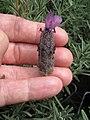 Starr-120613-9687-Lavandula stoechas-flower-Lowes Nursery Kahului-Maui (25027290222).jpg