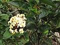 Starr-130312-2307-Ixora sp-flowers-Pali o Waipio Huelo-Maui (24576446454).jpg