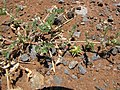 Starr-130617-5013-Tribulus terrestris-thorny seeding habit-Kealia Pond NWR-Maui (24585425663).jpg