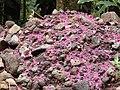 Starr-140222-0463-Syzygium malaccense-leaf duff on ground-Hana Hwy-Maui (25122627462).jpg