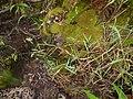 Starr-170516-0113-Polypogon interruptus-seeding habit-Lower Kula Pipeline Haiku Uka-Maui (34419430263).jpg