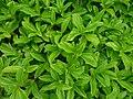 Starr-180421-0297-Sphagneticola trilobata-leaves-Honolua Lipoa Point-Maui (41651341840).jpg