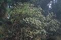 Starr-990107-3304-Rubus niveus-form b in Sophora chrysophylla-Polipoli-Maui (24229746650).jpg