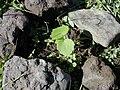 Starr 020112-0013 Hibiscus brackenridgei subsp. brackenridgei.jpg