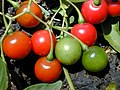Starr 020323-0065 Solanum seaforthianum.jpg