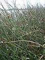 Starr 030612-0135 Cyperus laevigatus.jpg