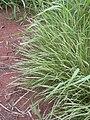 Starr 040217-0063 Panicum fauriei var. fauriei.jpg