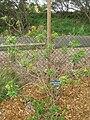 Starr 060329-6815 Bidens micrantha subsp. micrantha.jpg
