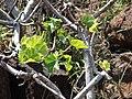 Starr 070404-6560 Hibiscus brackenridgei subsp. brackenridgei.jpg