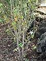 Starr 070830-8185 Hibiscus arnottianus subsp. immaculatus.jpg